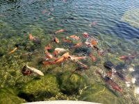 koi pond watergarden backyard fish