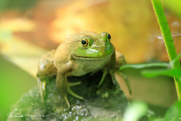 pond frogs