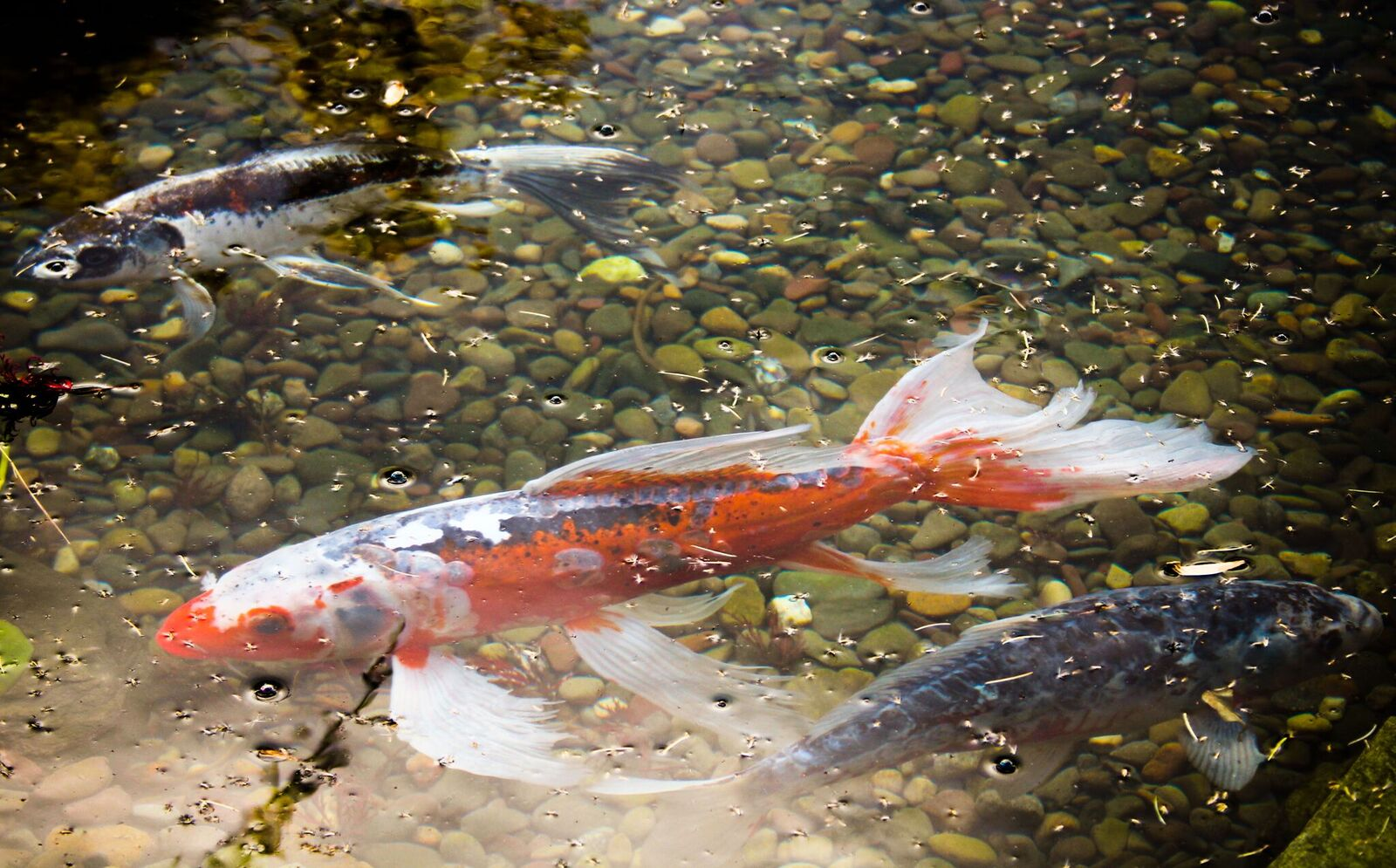 Texas Koi Pond Fish